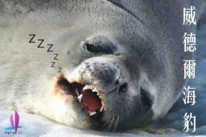 南極生態| 威德爾海豹Weddell seal