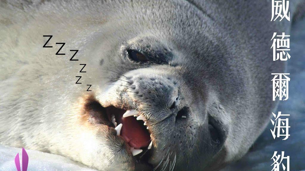 最適應南極的哺乳動物 - 威德爾海豹Weddell seal