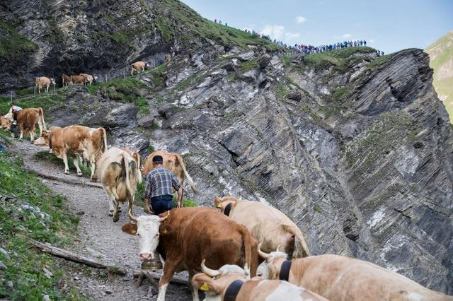 瑞士節慶|趕牛節