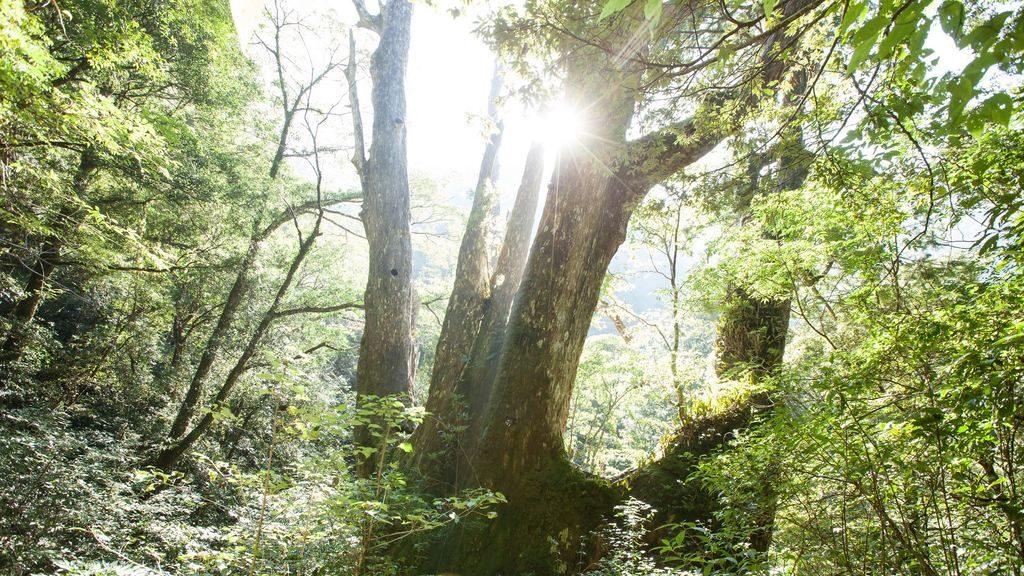 拉拉山自然保護區景觀與阿里山的神木齊名