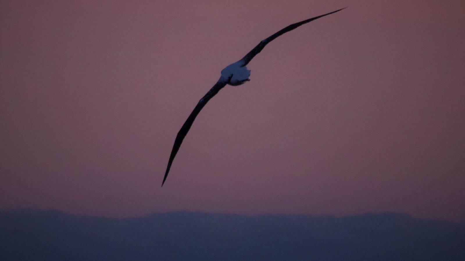 漂泊信天翁Wandering Albatross
